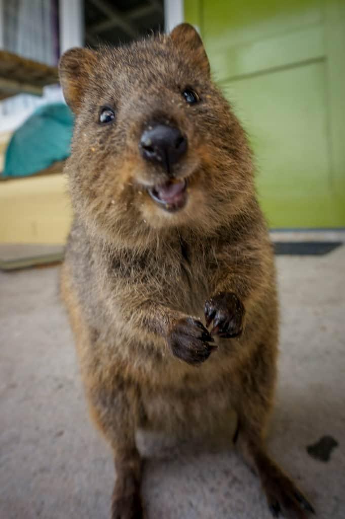 Smiling Quokka, worlds happiest animal