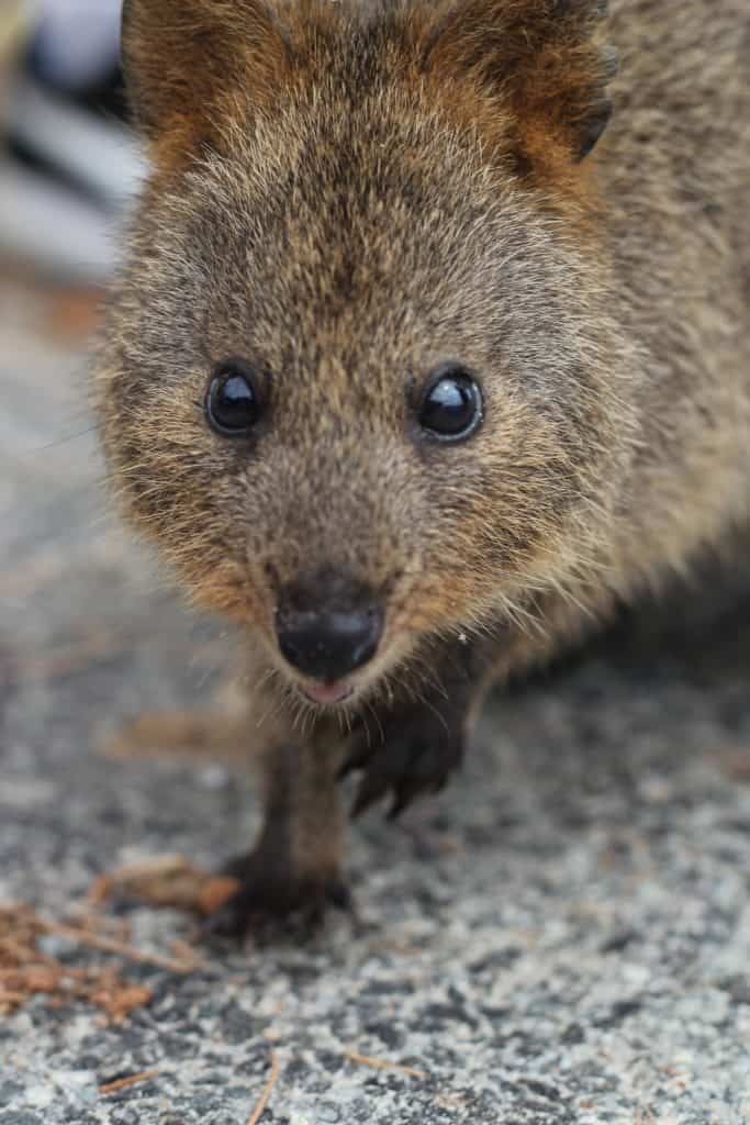 This is a quokka AKA worlds happiest animal!