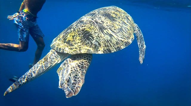 Turtle spotted while snorkeling in Gili T