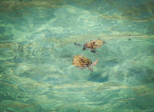 Turtles in the water of Stradbroke Island Brisbane