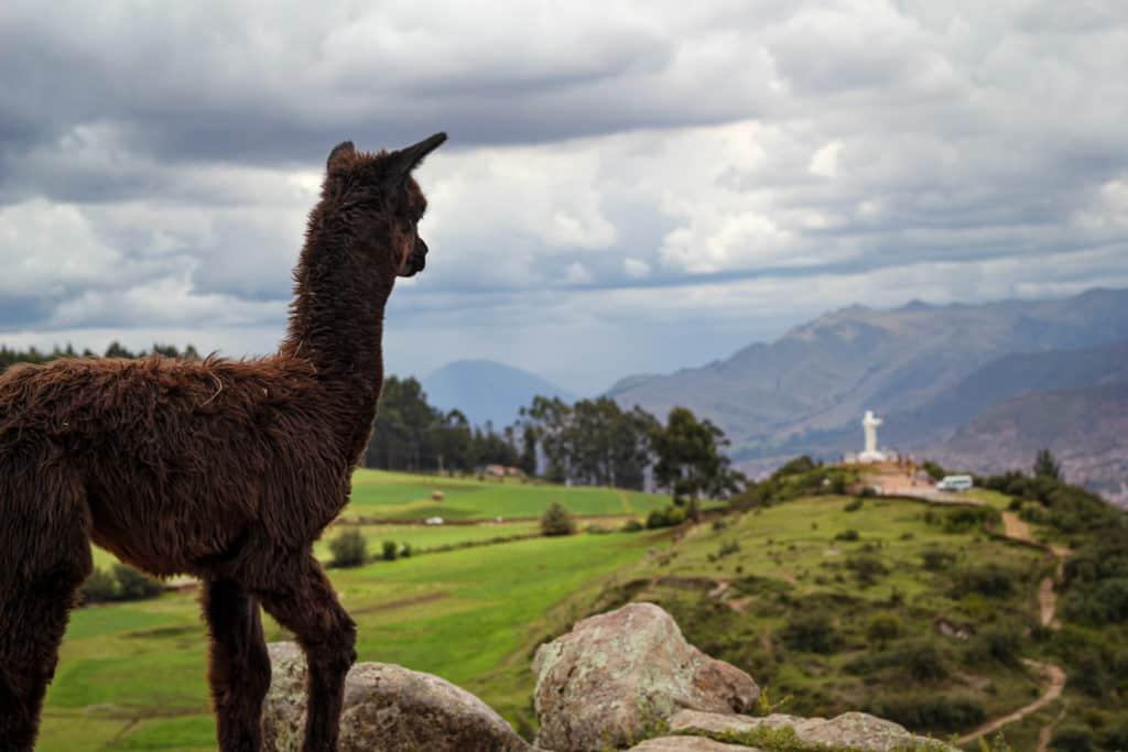 Alpaca appreciating Cuscu gateway to Machu Picchu