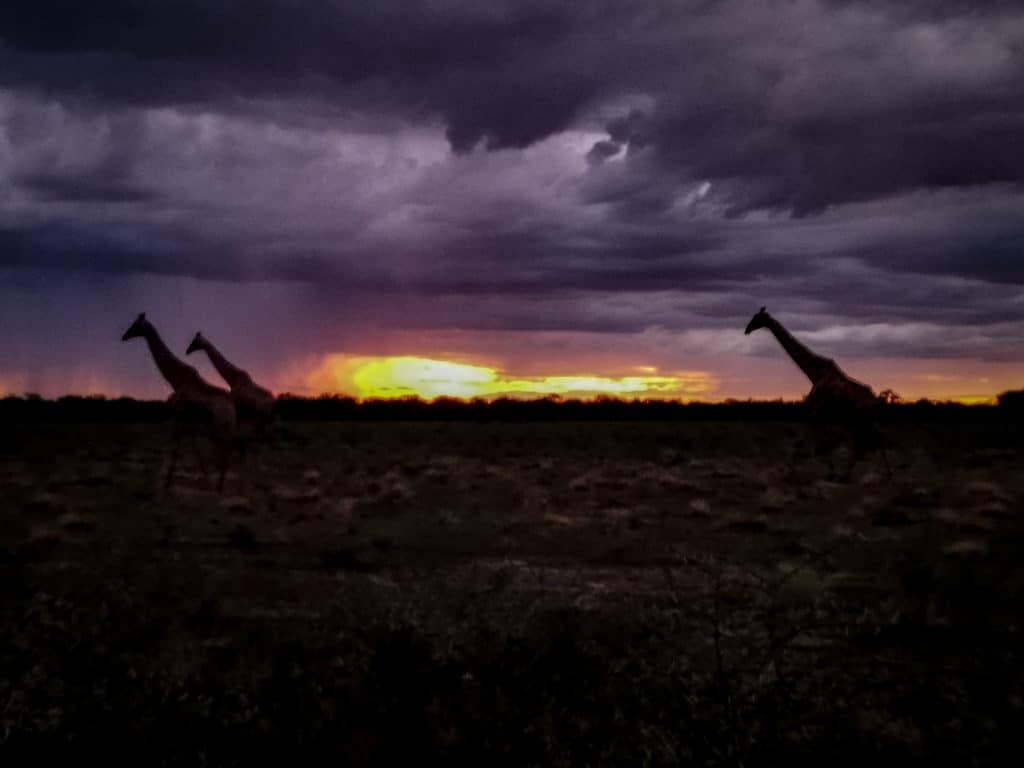 Giraffes at sunset on etosha night safari