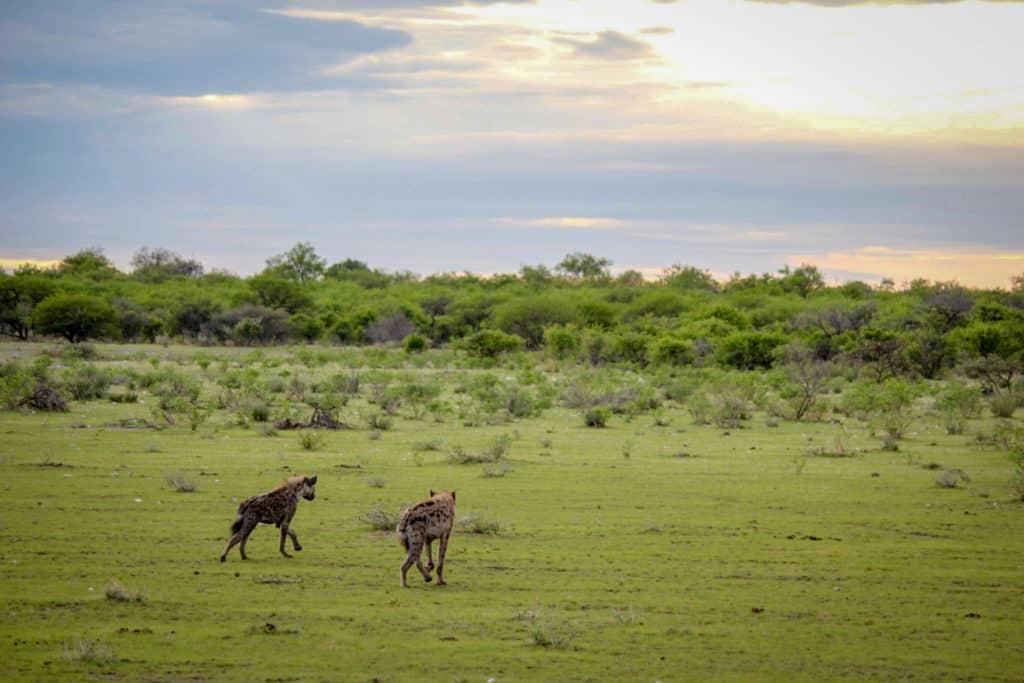 Hyena's in Etosha National Park -Namibia