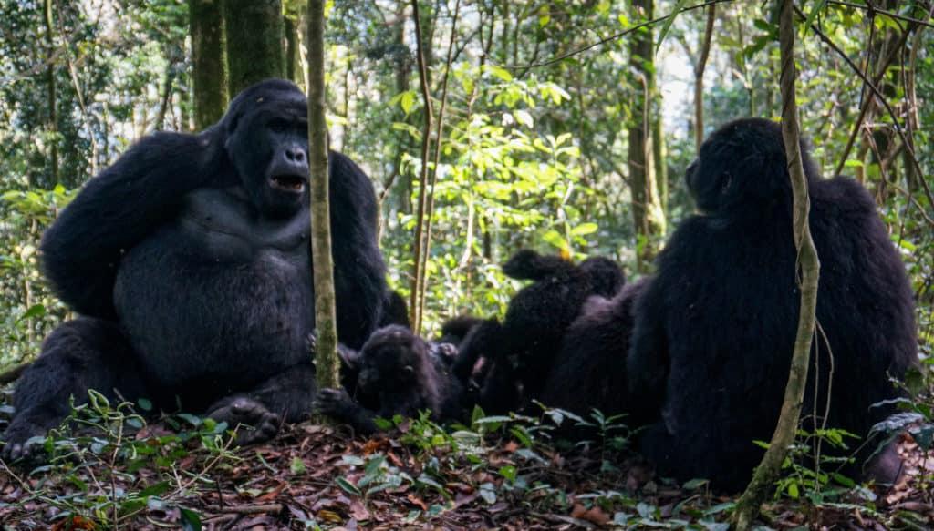 Gorilla family Uganda