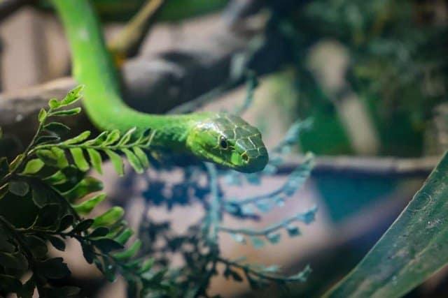 Green Mamba Meserani Snake Park