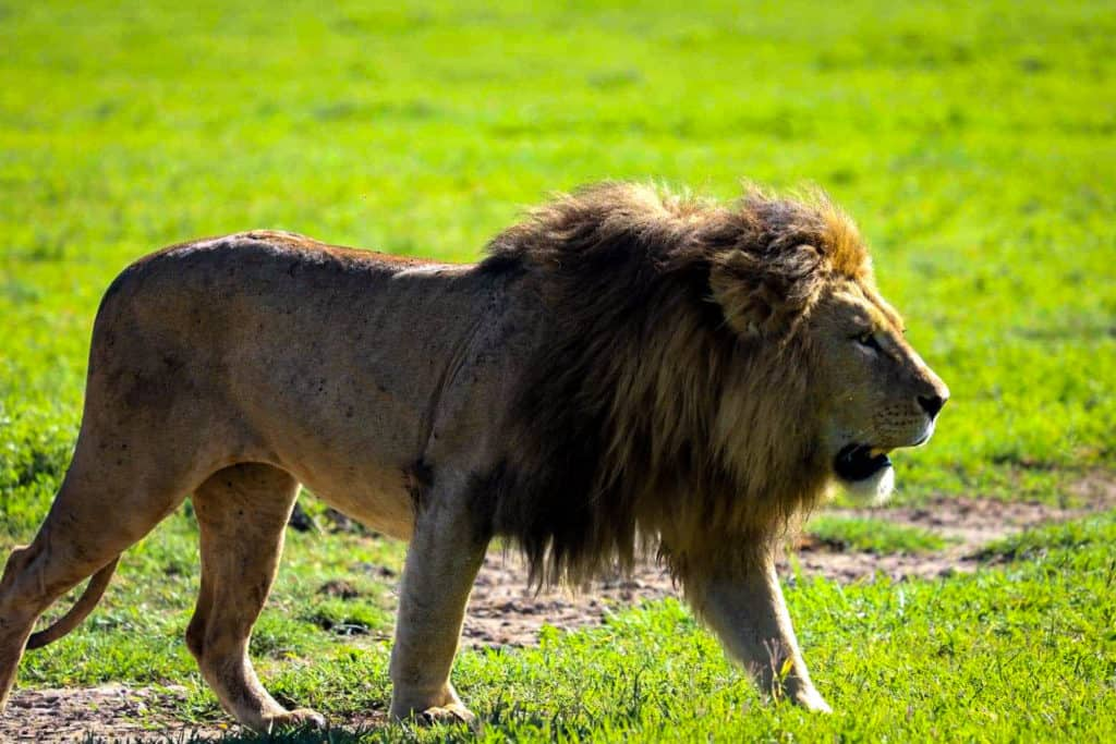 Lion at the Ngorongoro Crater in Tanzania.