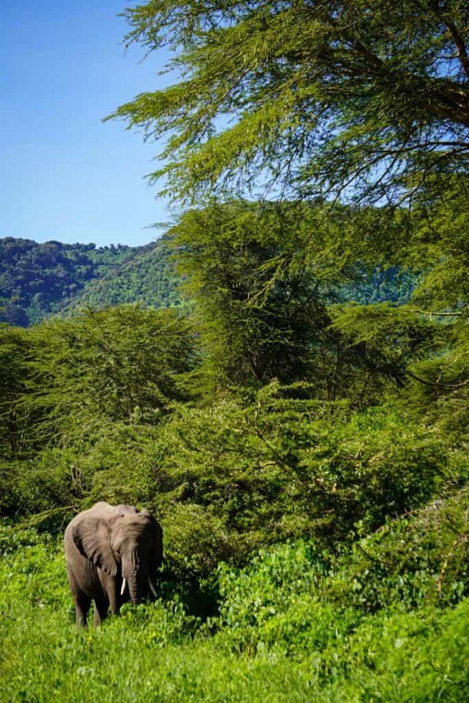 Elephant's at the Ngorongoro Crater in Tanzania.