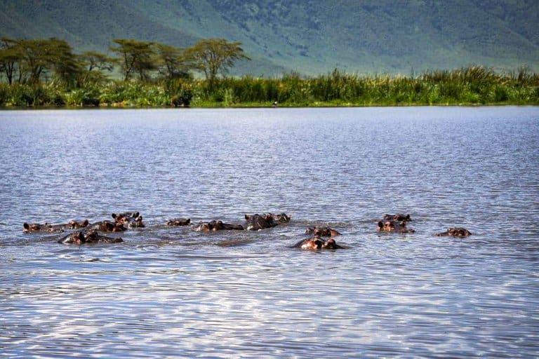 Hippo's in the Ngorongoro Crater in Tanzania.
