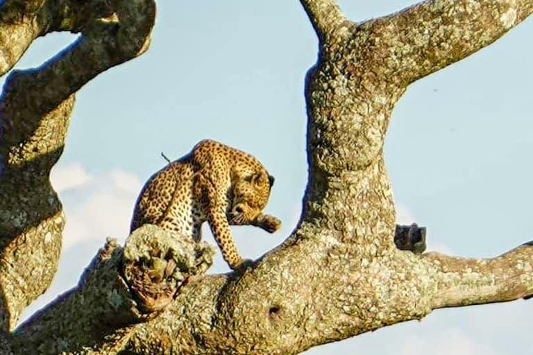 leopard spotted on Serengeti safari