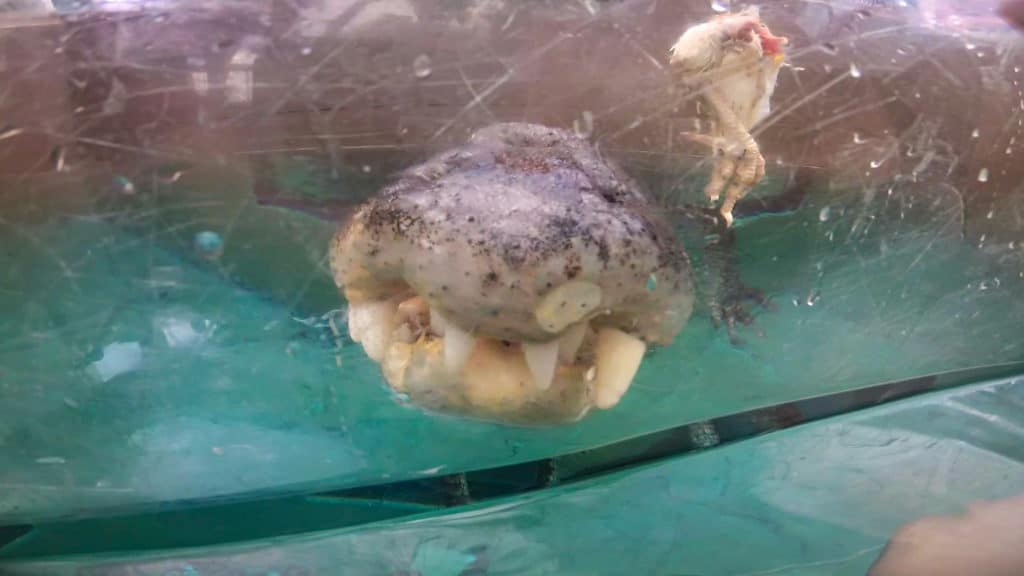 Crocodile swim Cage of Death