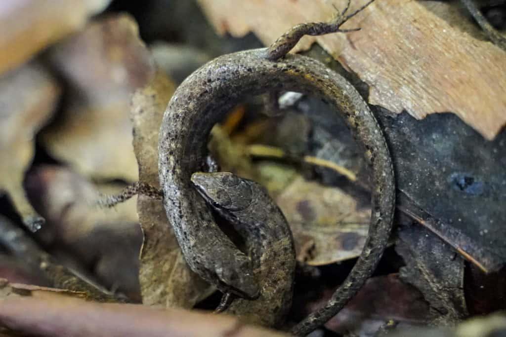 lizards Twin Falls Springbrook Queensland