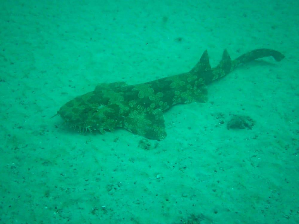 Wobbegong seen while snorkeling at Tangalooma wrecks