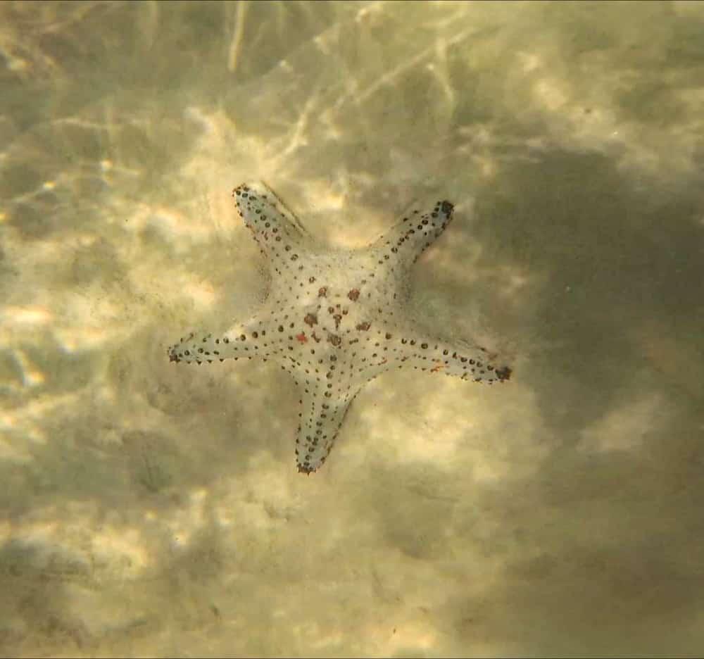 Star fish seen while snorkeling at Tangalooma wrecks