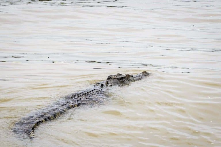 crocodile in the Adelaide River