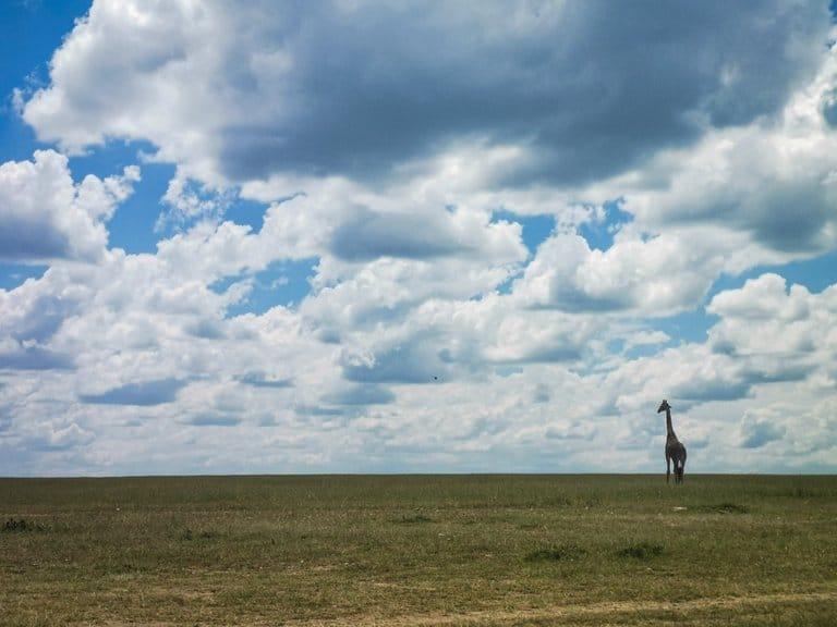 giraffe seen on masai mara game drive