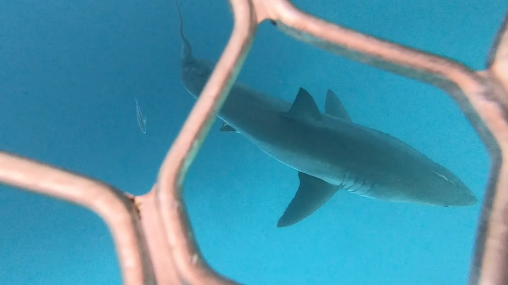 cage dive with great white shark
