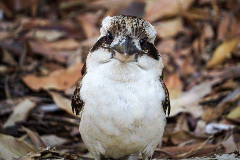 Kookaburra Stradbroke Island
